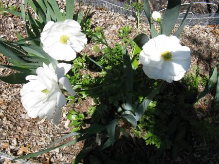 I believe these are white anemones.