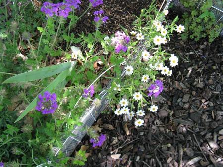 Blackfoot Daisy holding its own with verbena growing on top of it.
