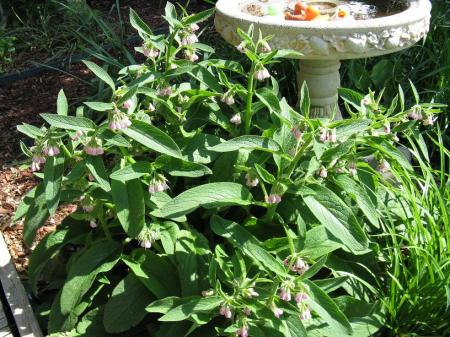 Russian Bocking 14 Comfrey
