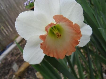 White Daffodil with Orange Trumpet