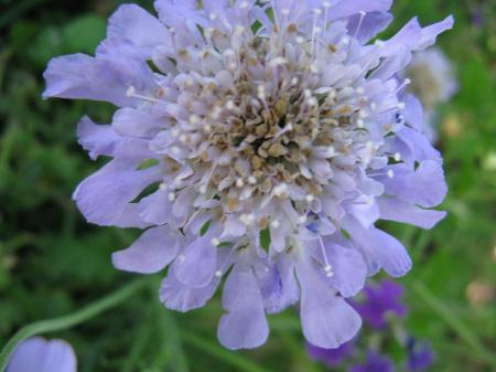 I call these Pincushion flowers, but I think they are named Scabiosa.