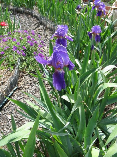 Purple Iris at the top of the Labyrinth