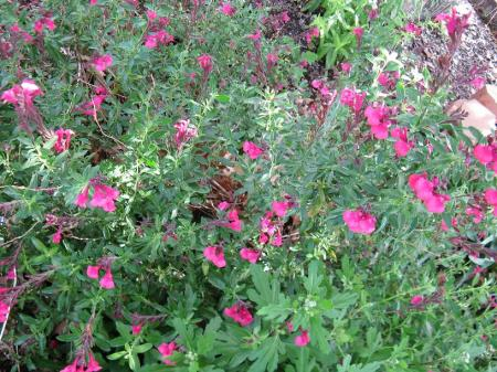 My salvia is a beautiful magenta color, but they come in many colors.