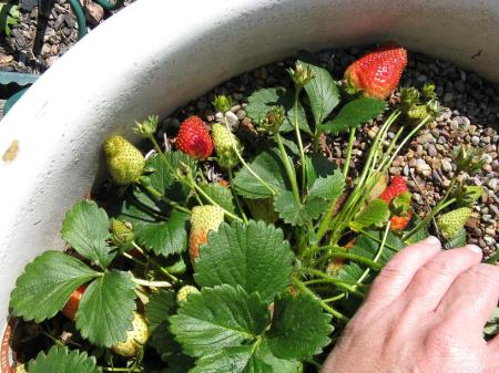 Strawberries turning red