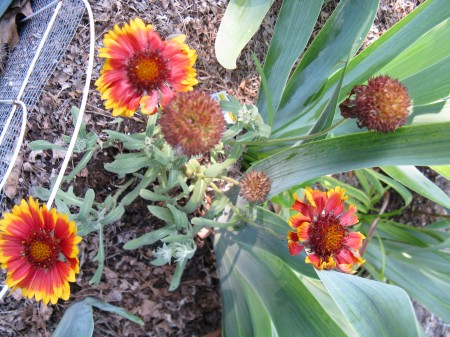 These blanket flowers are heat- and drought-tolerant.
