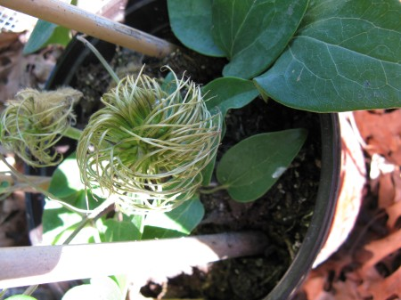 This clematis generates little balls of string that are supposed to turn into flowers.
