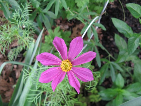 cosmos come in a variety of colors.  mine are various shades of pink to maroon.