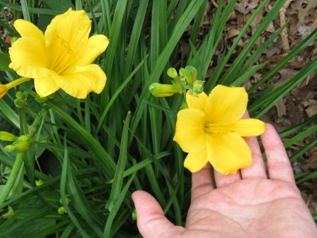 My daylillies are beginning to bloom.
