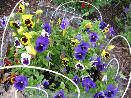 Pansies are still bright after having been here since Fall.