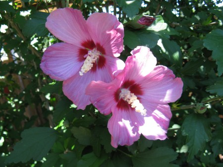 blooms on rose of sharon bush