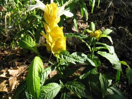 Golden Shrimp Plant, also called Lollipop Plant (Pachystachys lutea)