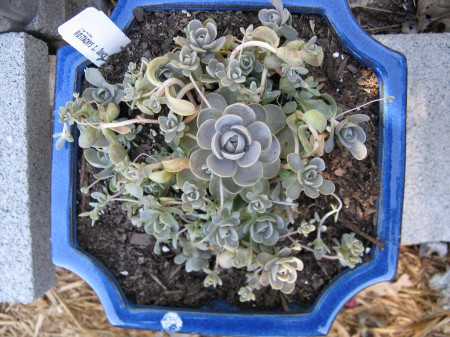 Isn't this plant beautiful?  It's a hens-and-chicks type of propagator.
