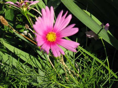 Cosmos with dark pink at center