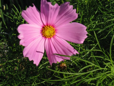 Cosmos Blooming