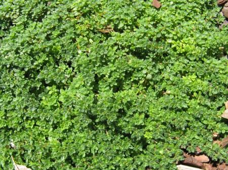 Elfin Thyme (Thymus praecox 'Elfin')