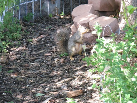 The little fella is alert while feeding in the Labyrinth Garden in case Alex or Elsie (my dogs) come outside.