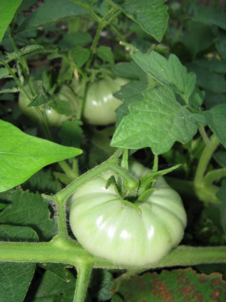 Green tomatoes in the Labyrinth Garden