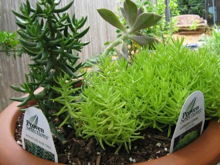 2sedlum1succulent