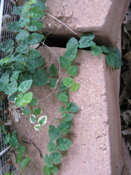 Creeping fig growing from middle of raised bed onto brick edging.