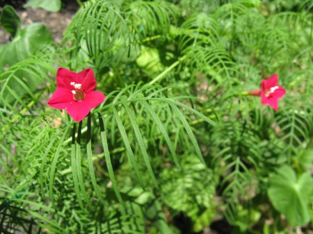 First Cypress Vine Buds of 2009
