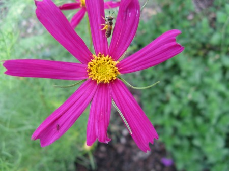 Beautiful shocking pink cosmos