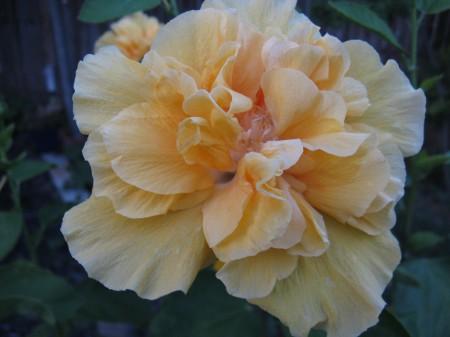 Yellow hibiscus bush flowering
