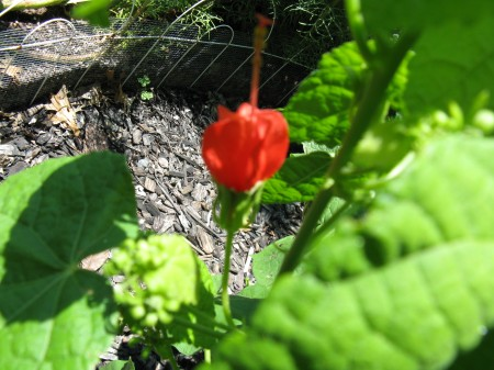Turk's Cap blooms peek out from under bright green leaves.