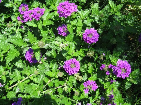 Verbena completely covers the path