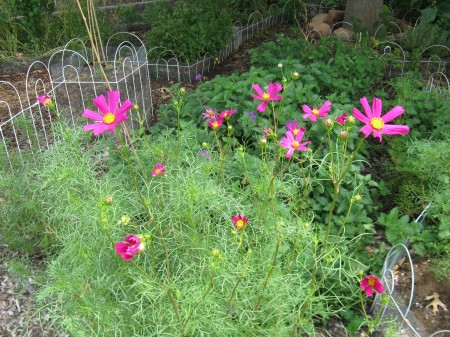Profusion of bright deep pink cosmos blossoms.
