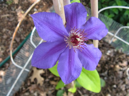 First bloom for this clematis that was acquired last May.  It was definitely worth the wait!