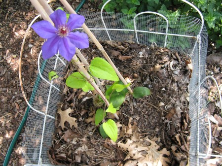 "Clematis seems to be happy in this 17"" x 17"" x 20""h bed."