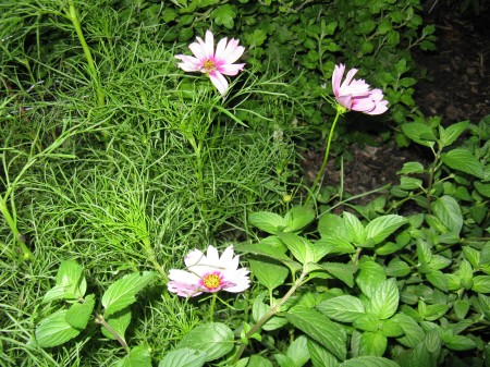 These are light pink cosmos with dark pink centers.