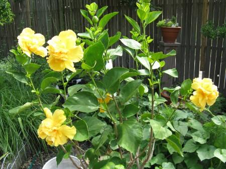 Blooming Hibiscus Bush