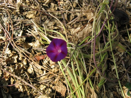A dual-colored morning glory rises up from the compost heap.
