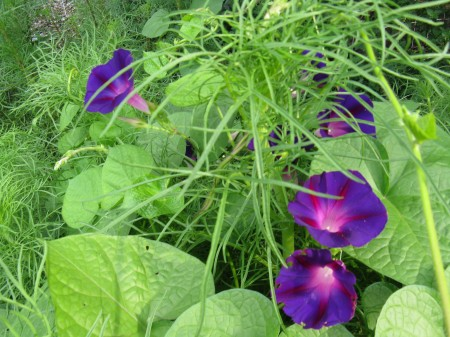 morning glory winding its way through cosmos