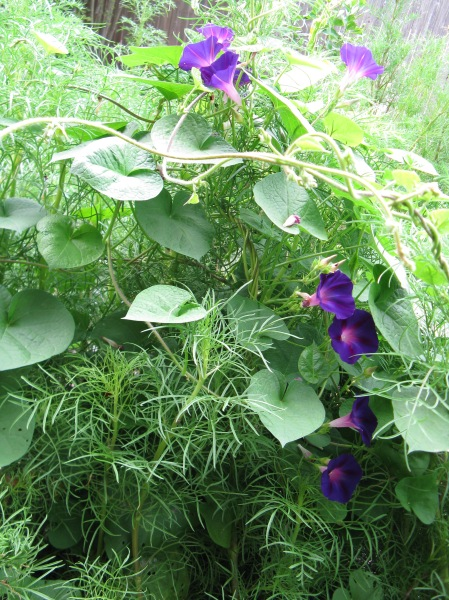 More purple morning glory amongst the cosmos.