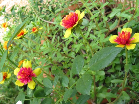 "Label says Hybrid Portulaca, ""Double"" Purslane"