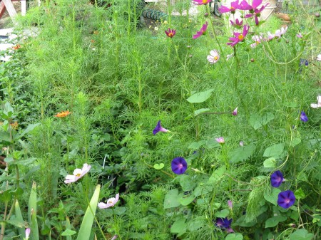 September flowers:  cosmos, zinnia, morning glory