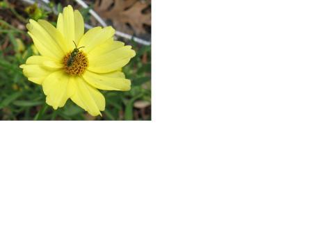 coreopsis with bug