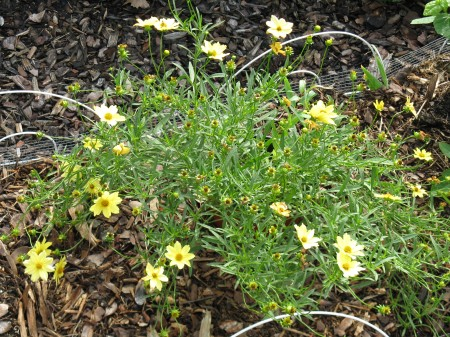 The Coreopsis Bush