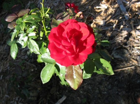 Deep red rose has bloomed again for fall.
