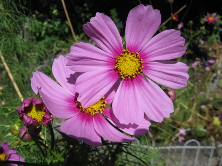 I love the dark pink band around the yellow center of these cosmos