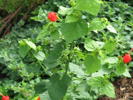Bright red buds on Turk's Cap