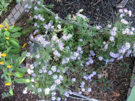 asters1