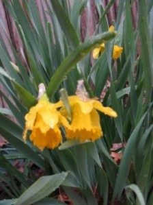 Daffodils after rain