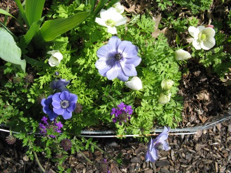 Blue and White Anemones