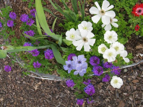 More verbena and anemones