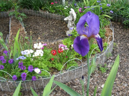 A Purple Bearded Iris in the Labyrinth Garden