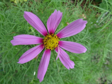 Cosmos in the Labyrinth Garden.