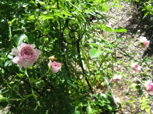 Pink Climbing Rose is budding.